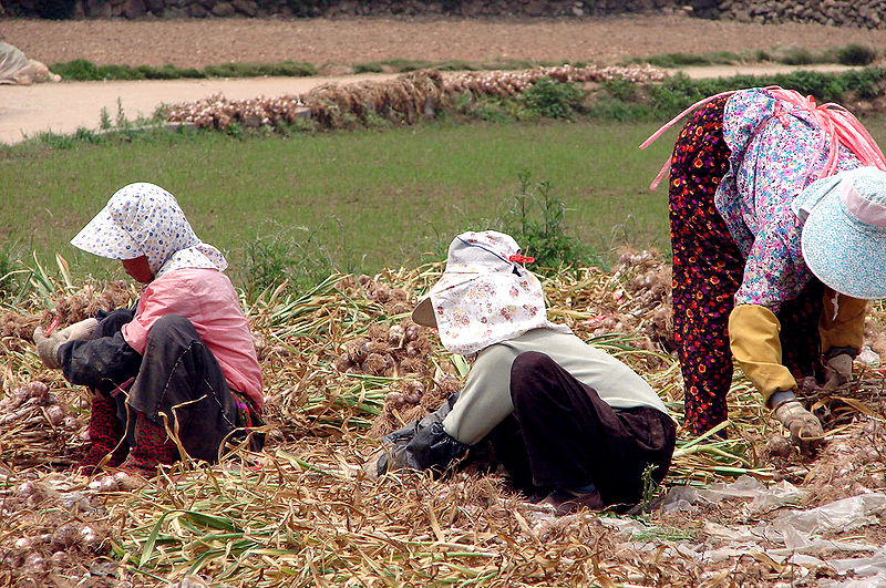 800px-Korea-Goheunggun-Garlic_harvest_4244-06